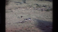 1983: animals foraging on a field looking for food KILAGUNI KENYA Stock Footage