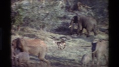 1983: wild animals are grouped and eat their food KILAGUNI KENYA Stock Footage