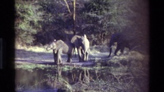 1983: a small herd of elephants are walking to a lake to drink KILAGUNI KENYA Stock Footage