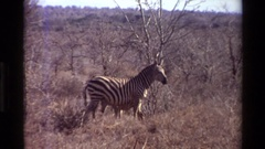 1983: wild animal eating some food in a plain land area NAIROBI KENYA Stock Footage