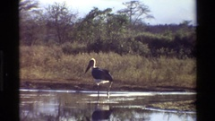 1983: a beautiful stork hunting for its prey stealthily in the water body Stock Footage