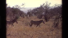 1983: number of zebras walking in the middle of mountain area NAIROBI KENYA Stock Footage