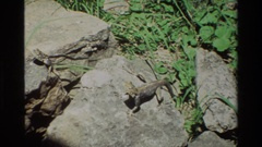 1983: a lizard bathing in the sun on a rock NAIROBI KENYA Stock Footage