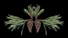 Time-lapse of opening pine cone with ALPHA channel Stock Footage