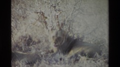 1983: film of two lions in a field while one gets up and the other one follows Stock Footage