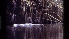 1983: an alligator slinks through a swamp just above the water line KILAGUNI Stock Footage