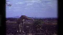 1983: giraffe KILAGUNI KENYA Stock Footage