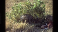 1983: cheetahs feeding MARA TANZANIA Stock Footage
