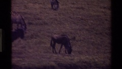 1983: a herd of zebras gather in grassy plains as a family run and have fun Stock Footage