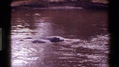 1983: two hippos in murky water MARA TANZANIA Stock Footage
