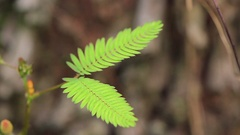 Leafs Mimosa pudica closes Stock Footage