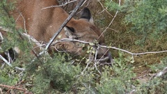 4K Playful Mountain Lion Rubs Head On Branches Grabs Leafy Branch With Claw Arkistovideo
