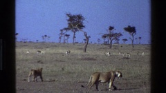 1983: learning a lesson in the wilds MARA TANZANIA Stock Footage