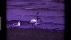 1983: close up of shore birds on a pebble beach KENYA Stock Footage