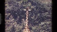 1983: a giraffe eating leaves KENYA Stock Footage