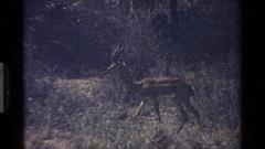 1983: deer-type ungulates walking across a savanna KENYA Stock Footage