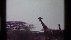 1983: two giraffes walking on forest KENYA Stock Footage
