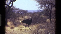 1983: ostrich walking in a desert area KENYA Stock Footage