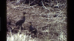 1983: wild birds eating worms and insects in a field KENYA Stock Footage