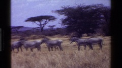 1983: a herd of black and white zebras stand in a field KENYA Stock Footage