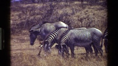 1983: a small herd of zebra's graze on a dry plain at the foot of a hill KENYA Stock Footage