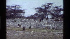 1983: a group of apes walk in a field on a cloudy day KENYA Stock Footage