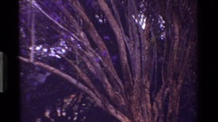 1983: the beautiful purple blossoms spreaded over the trunks of the tree KENYA Stock Footage