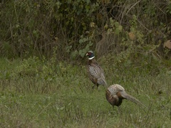 Male pheasants walking in meadow close to bushes. Stock Footage