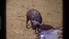 1983: water buffalo drinking and standing at water in desolate dry area KENYA Stock Footage