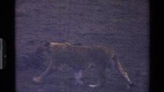 1983: lion in its natural habitat MARA TANZANIA Stock Footage