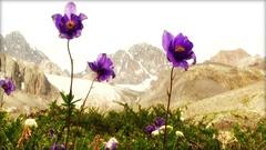 Blue Columbine Flowers Stock Footage