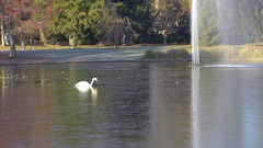 Swan braking ice on lake Stock Footage