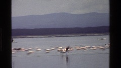 1983: birds flying over and sitting in a body of water MARA TANZANIA Stock Footage