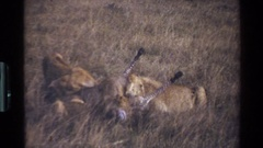 1983: a group of hungry lions busy feasting on a zebra in a wildlife park MARA Stock Footage