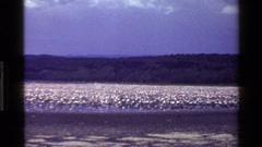 1983: a very large crowd of waterfowl walk around in a lake MARA TANZANIA Stock Footage