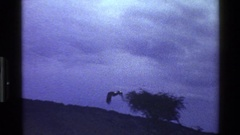 1983: black bird with long wingspan and white markings flies and wolf forages Stock Footage