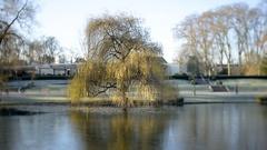 Tilt-shift willow tree Stock Footage