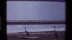 1983: a group of waterfowl sits on a piece of land in a lake MARA TANZANIA Stock Footage