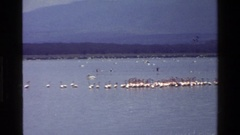 1983: huge flock of birds gather on and around a large body of water. MARA Stock Footage