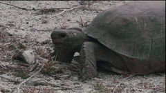 Close Up: Florida Gopher Tortoise Eating Grass Stock Footage