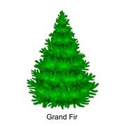 Christmas vector tree like grand fir for New year celebration without holid.. Stock Illustration