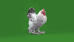 Nice big rooster Stock Footage