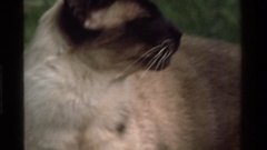 1975: a siamese cat outside CALIFORNIA Stock Footage
