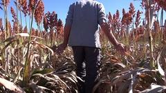 4K Farmer Walks Along Row Of  Blooming Sorghum Plants Stock Footage