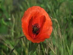 Red poppy with mites and the bee in wind 4k UHD zoom in Stock Footage