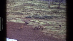 1983: a group of animals running and walking in a field KENYA Stock Footage