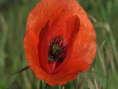 Red poppy with mites and the bee collecting  pollen in wind 4kUHD zoom out Stock Footage