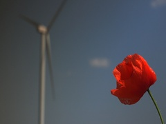 Windmill energy production and red poppy alternate focus 4k UHD Stock Footage