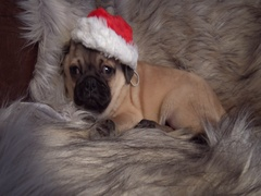 Christmas pug sleeping, waking with a surprise and going back to sleep snoring Stock Footage