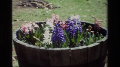1985: hyacinth and daffodils in a planter DAFFODIL HILL CALIFORNIA Stock Footage